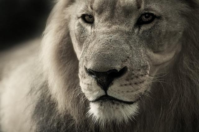lion-animal-portrait-africa-safari-40196
